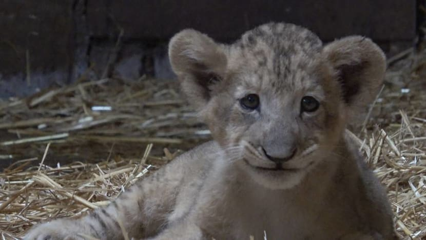 Lion cub born at Singapore Zoo, first in the country conceived through assisted reproduction