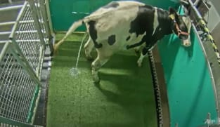 Climate researchers 'potty train' peeing cows