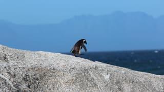 """南非63只濒临绝种非洲企鹅死亡 """"凶手""""是蜜蜂"""