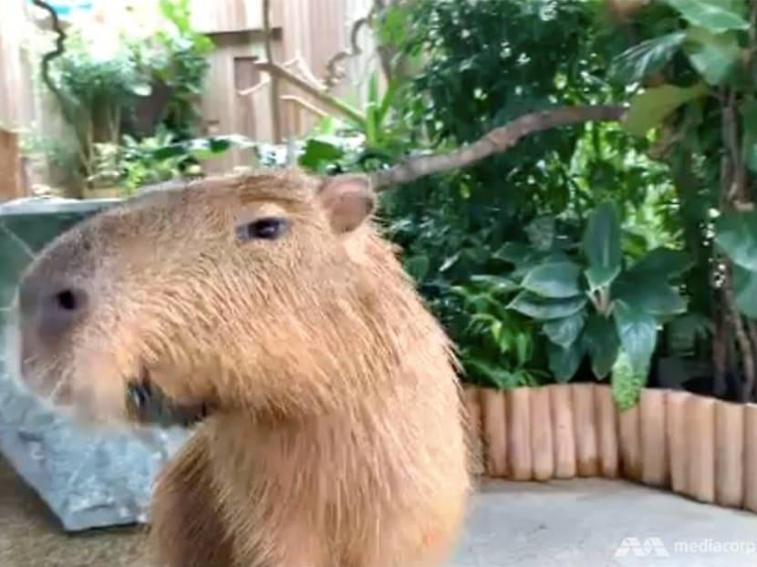 Going on a Zoom date with Moe the capybara from Singapore's River Safari