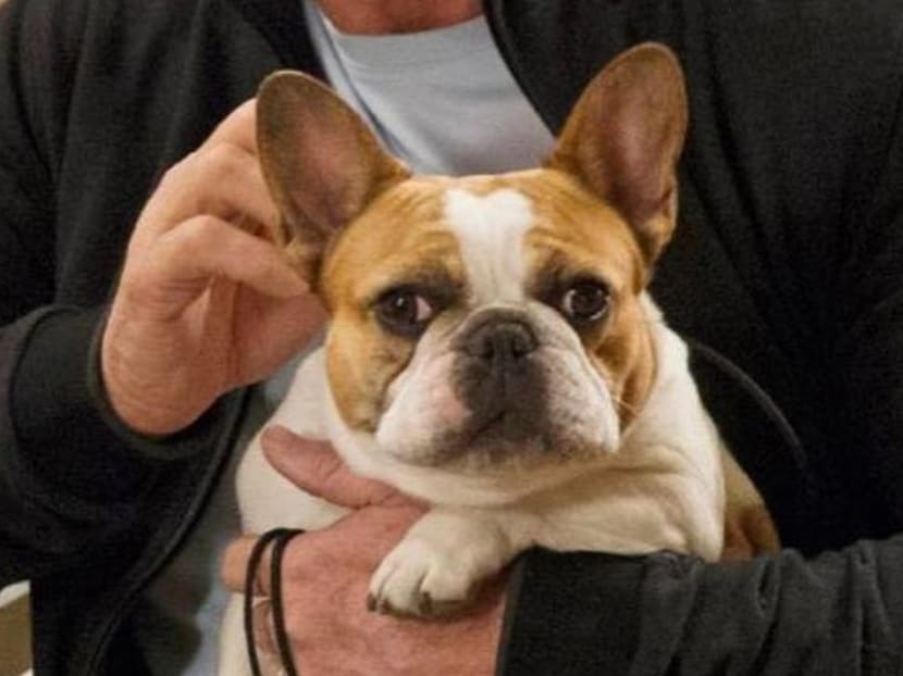 Modern Family's French bulldog Stella dies shortly after filming series finale