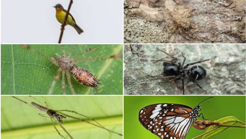 20 new species of fauna recorded on Pulau Ubin, including new type of spider
