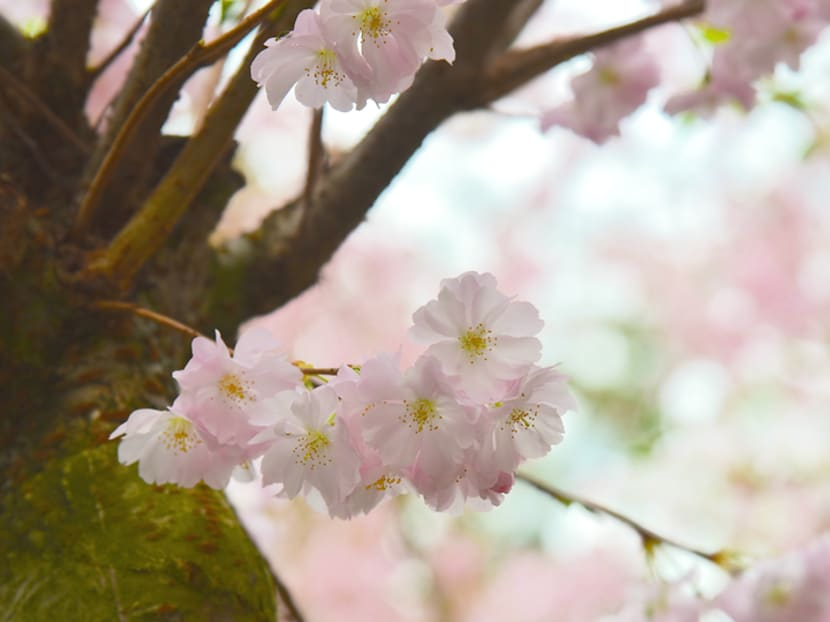 Japan's cherry blossoms expected to bloom early again this year