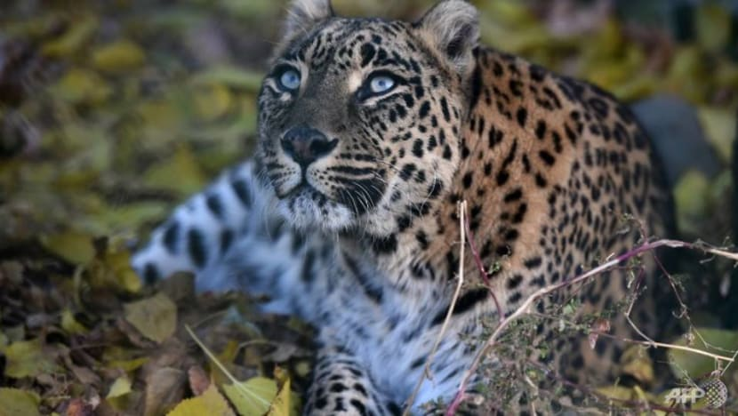 Leopard kills, decapitates 3-year-old in India