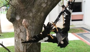 ACRES appeals for information after mynah found glued to tree in Choa Chu Kang