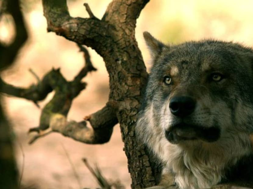 Spain protects Iberian wolves, but farmers howl