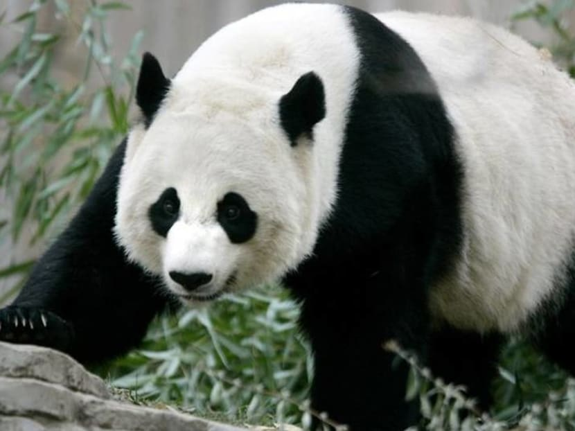 Panda cub to get his first peek at visitors as US National Zoo reopens