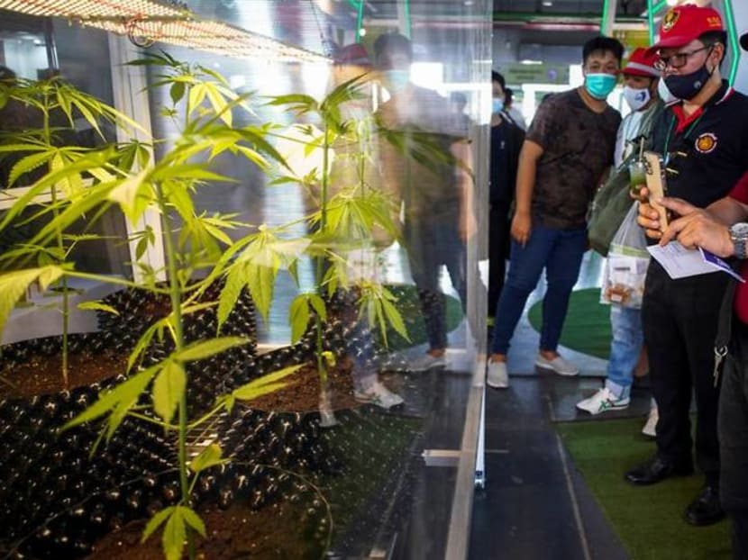 Thailand in a green rush as government pushes cannabis as cash crop
