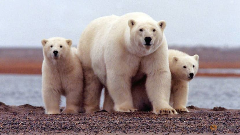 Commentary: Lessons learnt when polar bears invaded one town in Russia