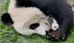 Talking Point 2021/2022 - S1E20: Hello Panda! What Does It Take To Breed One?