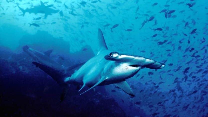 French aquarium sued over 30 dead hammerhead sharks