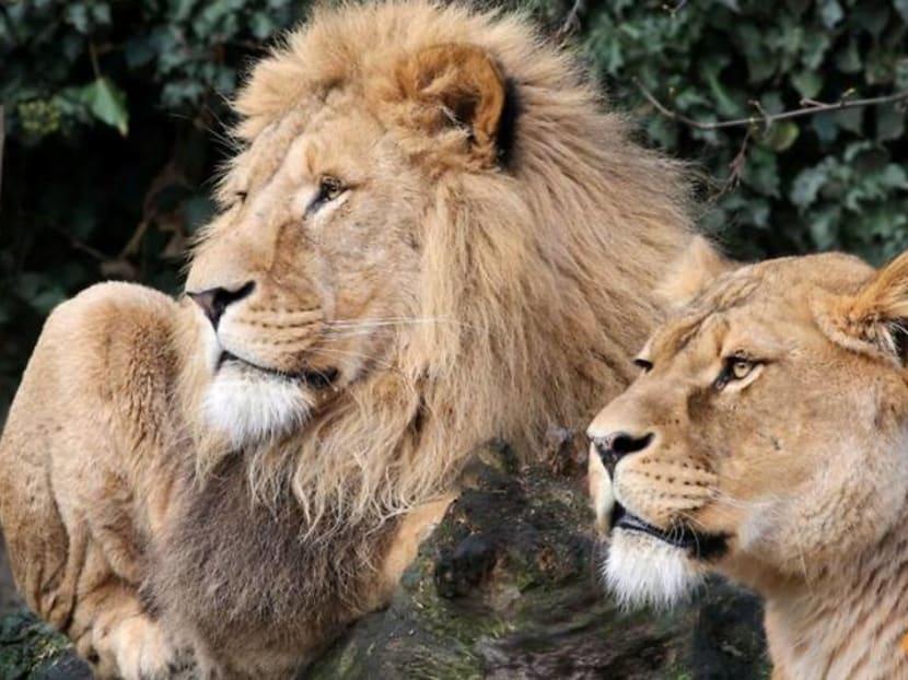 Amsterdam zoo Artis gives up lions amid coronavirus cash crunch