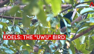 """The """"uwu"""" bird: Koels and their distinctive call that divides Singapore residents"""