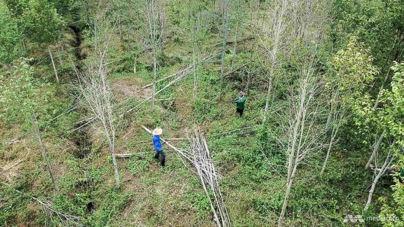 'Wood of the gods' faces wipeout in northern Thailand as climate change cripples plantations