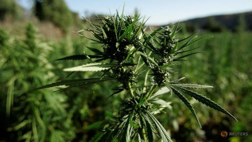7 people shot dead at illegal California marijuana operation