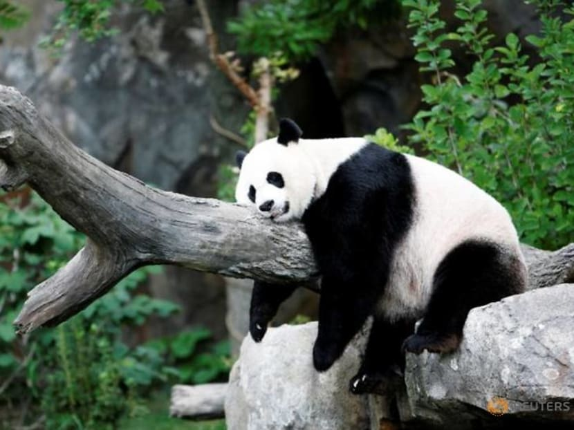 'A good day': Giant panda's pregnancy brings cheer to US National Zoo