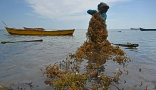 Women show the way as India pushes 'eco-miracle' seaweed