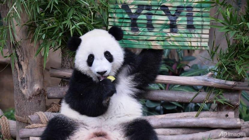 Malaysia names second panda cub Yi Yi to recognise friendship with China