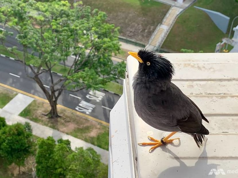 The one-legged mynah who dropped by one day – and now makes daily house calls