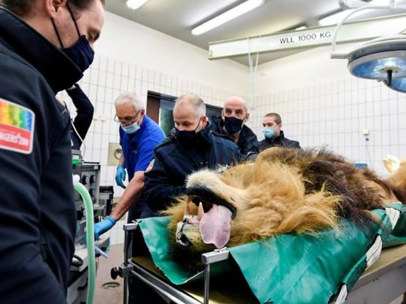 Lion has vasectomy after siring five cubs in a year