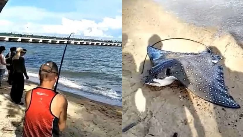Fish in a 'responsible and sustainable' manner, says NParks, after angler catches eagle ray
