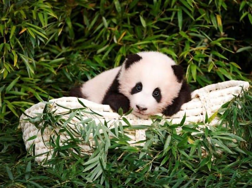 Lucky children greet Fu Bao, the first panda born in South Korea