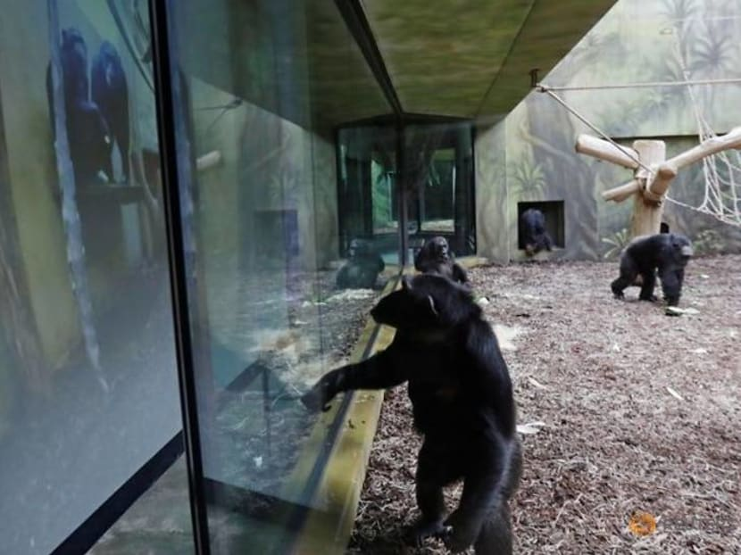 Czech chimps go wild for zoo Zoom
