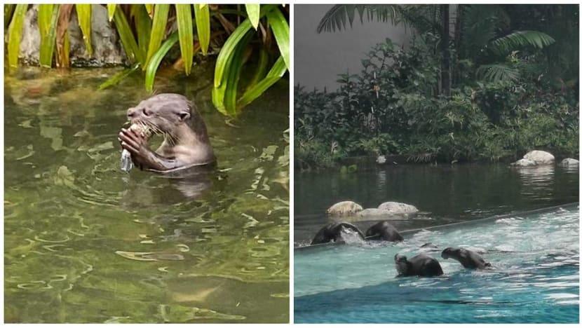 Otters seen eating fish at condominium along Alexandra Canal, upsetting residents