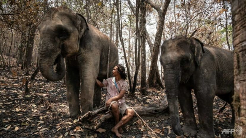 Hungry and in chains, Thailand's tourist elephants face crisis from COVID-19 impact