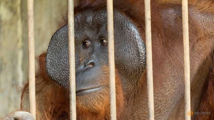 Two captive orangutans rescued in Indonesia