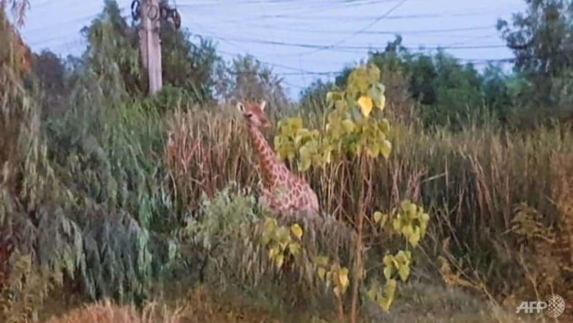 Fugitive giraffe found dead in Thai canal