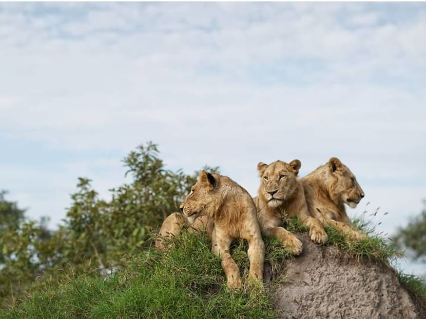 From the Kalahari to the Serengeti: Where to see the real Lion King in Africa