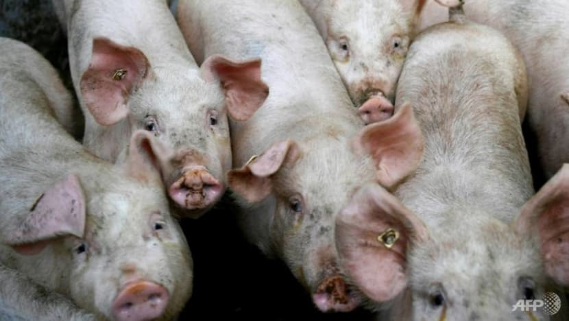Malaysia warns farmers not to cover up African swine fever cases