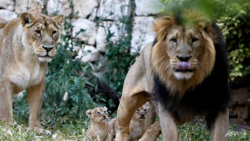 Eight lions in Indian zoo test positive for COVID-19