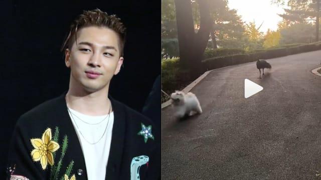超扯的!BIGBANG Taeyang散步巧遇孔雀追狗