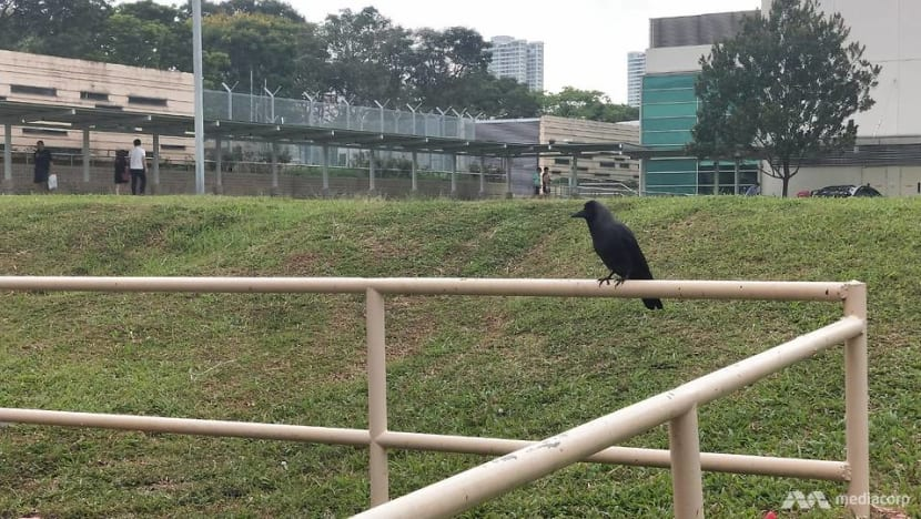 Ex-auxiliary police officer jailed for culling crows with shotgun without safety officer present