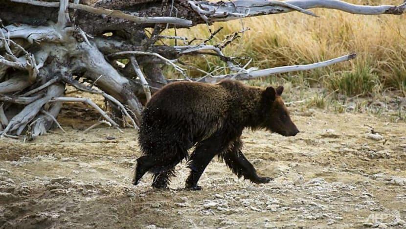 US judge blocks grizzly bear hunt near Yellowstone Park