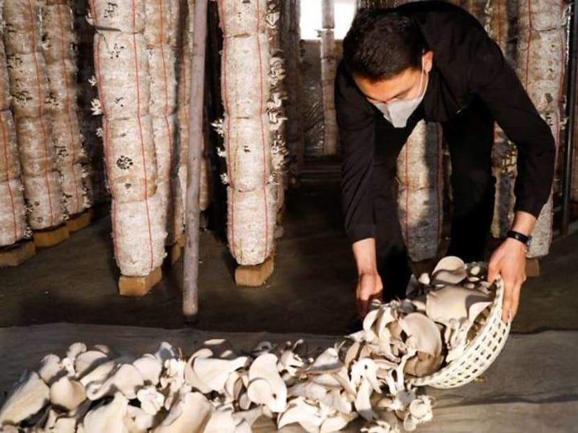 Deported from Europe, Afghan man pioneers mushroom farming in Kabul