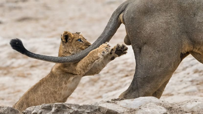 In pictures: Cub pouncing on lion wins Comedy Wildlife Photography Awards