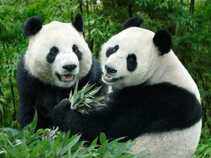 Baby-making season begins for giant pandas Kai Kai and Jia Jia