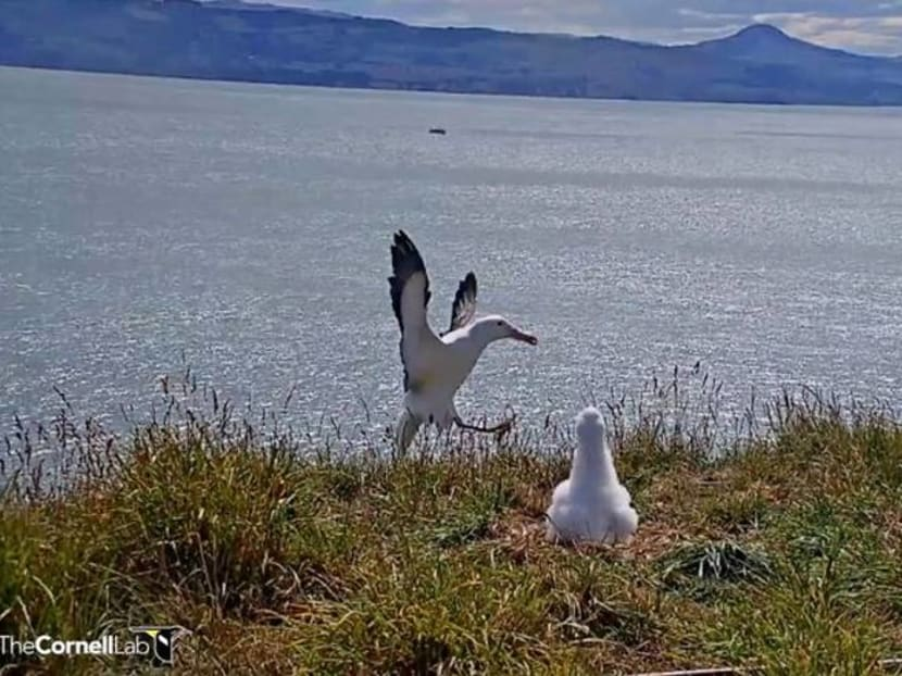 Faceplanting to fame: New Zealand livestream catches albatross in awkward landing
