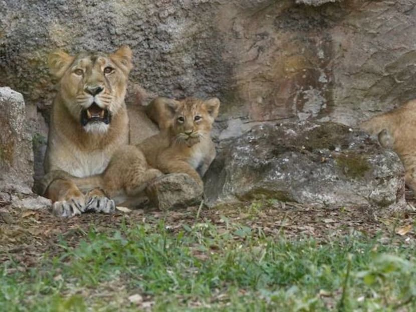 Rome zoo shows off two lion cubs born under lockdown