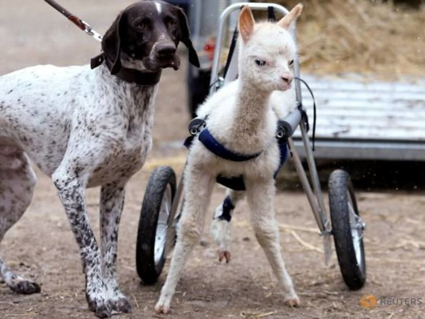 Orphaned and disabled, baby alpaca walks again with her own set of wheels