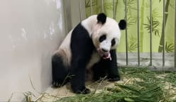 Commentary: People love pandas but what's really behind China's panda diplomacy?