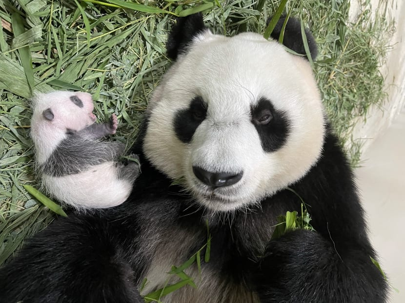 It's a boy: Gender of Singapore's first giant panda cub confirmed, public invited to submit names