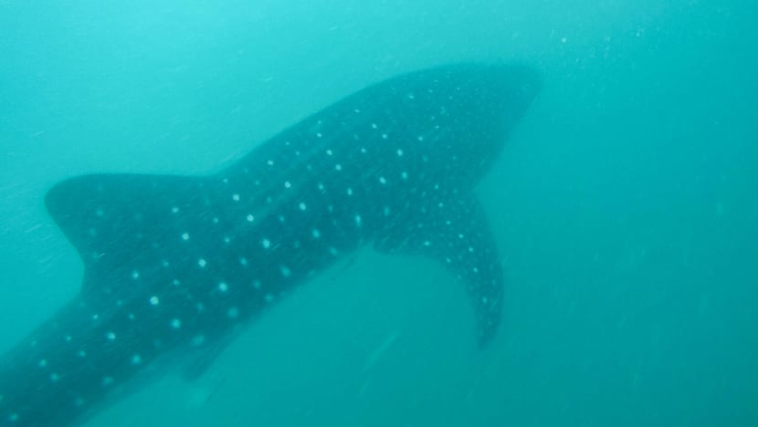 The whale shark guardians of the Philippines and the case of the missing big fish