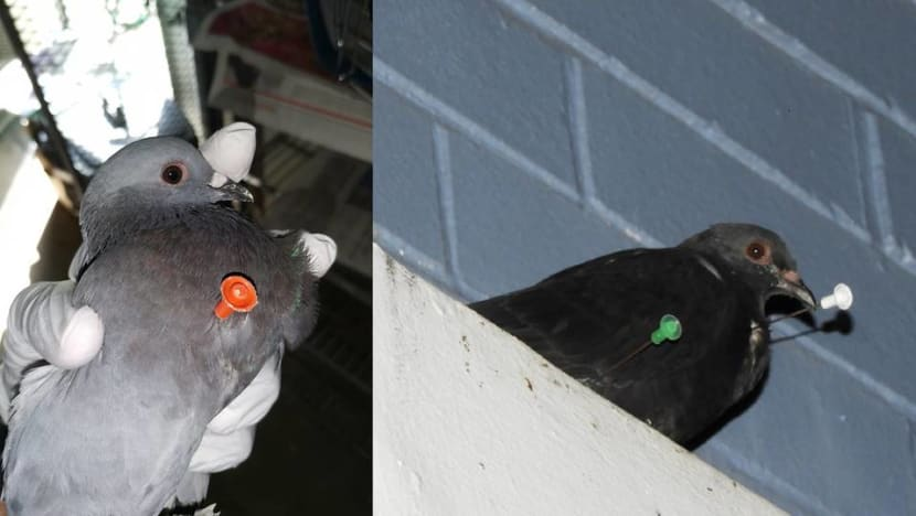 Blowgun darts found in pigeons in Jurong West: ACRES