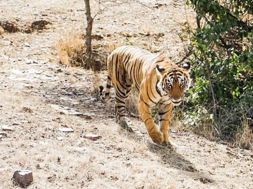 The heart-stopping experience of tracking tigers in Rajasthan