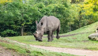 Rhino drowns at Dutch zoo in mating mishap