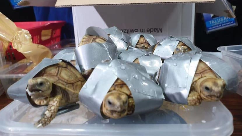 More than 1,500 live tortoises wrapped in tape seized at Manila airport